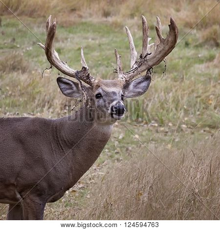 Square head and shoulders image of a large white-tailed deer buck. Late autumn in Wisconsin.