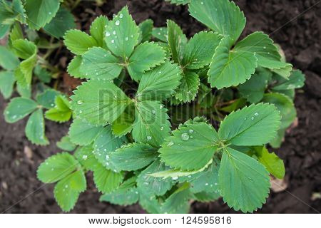 Wather drops on leaves of seedlings strawberry in the garden