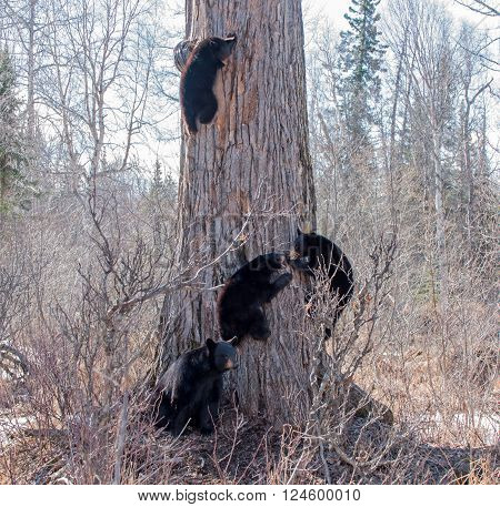 Black bear sow stands guard as her 3 cubs playfully climb down a tree