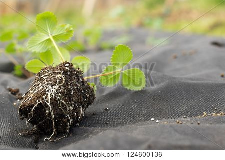 Spring Detail on seedling roots and strawberries on strawberry flower-beds