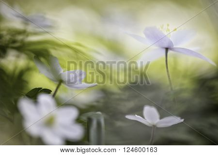 Wood anemone, wild spring flowers. A white flower carpet is covering the forest floor. Anemone nemorosa a beautiful wildflower paradise background