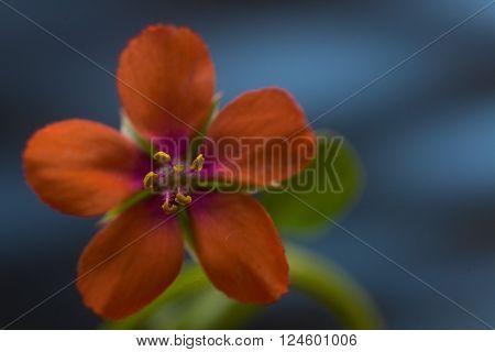 Scarlet pimperne springl flower against blue background. Selective focus on stamen.