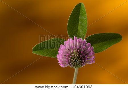 Spring Three leaf clover flower petal pattern against orange background. Selective focus on the petal.