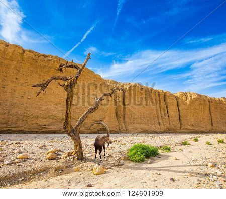 Hot winter in the desert near the Red Sea in Israel. Mountain goat grazing in the dry tree