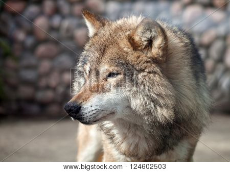 Grey Wolf (Canis lupus) looking to the left