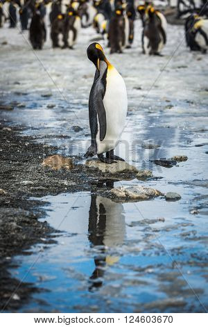 King penguin in rookery reflected in pool