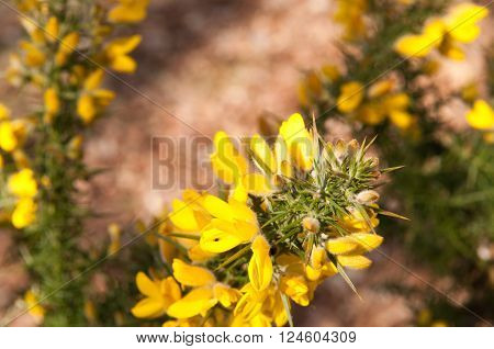 Yellow wild flowers growing in a countryside hedge
