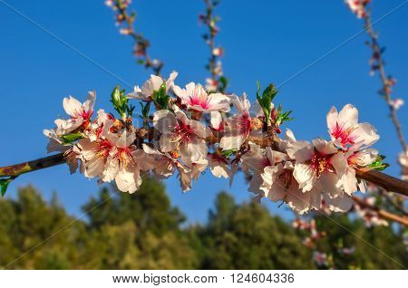 Branches of almond tree in full bloom with many nice pink flowers and new leaves on blurred background of blue sky and trees. Spring begins. Horizontal. Daylight.