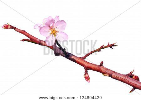 Branch of almond tree with first flowers and turgid buds isolated over white. Beginning of blossom.