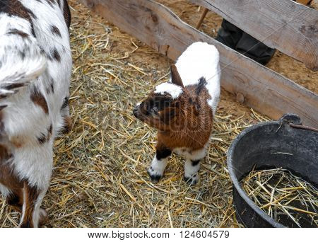 Cute spotty baby goat at the farm. ** Note: Shallow depth of field