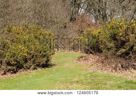 Grassy pathway through flowering hedgerow in the woods