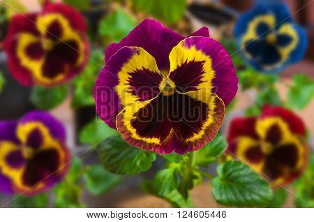 Flower of viola tricolor on blurred background.