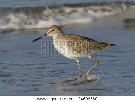Willet Wading In Surf On A Florida Beach