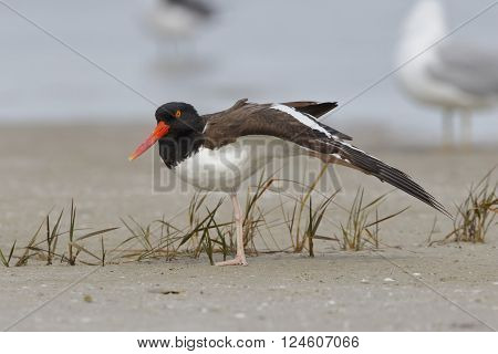 American Oystercatcher Stretching Its Wing On A Florida Beach