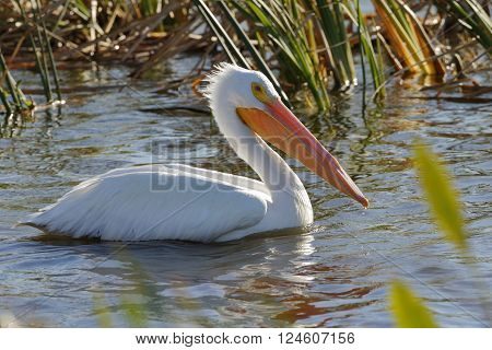 American White Pelican Foraging In A Florida Wetland