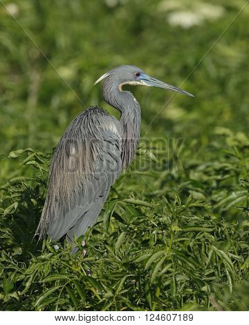 Tricolored Heron In Breeding Plumage - Florida