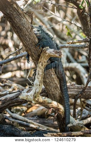 Marine iguana lying asleep on tree trunk