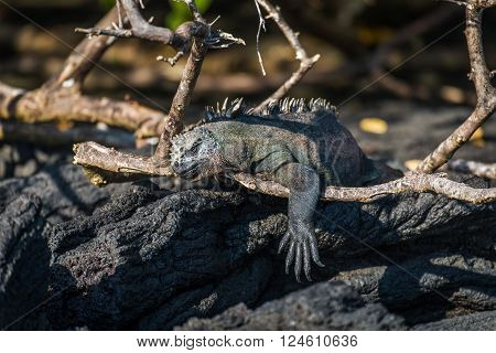 Marine iguana dangling leg over dead branch