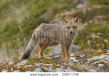 Andean Fox on a Coastal Beach in Tierra del Fuego in Chile