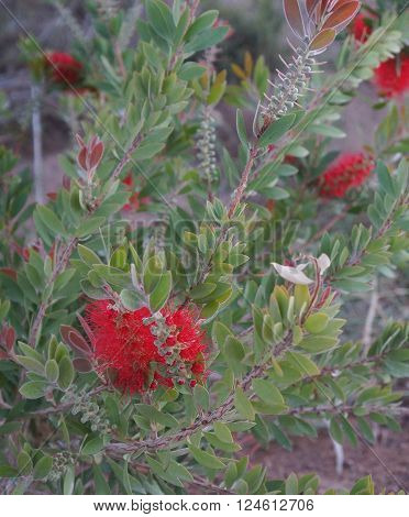 Callistemon, Australian beautiful shrub in full bloom