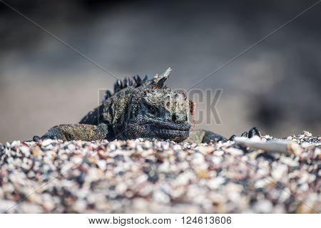 Marine iguana poking head over shingle ridge