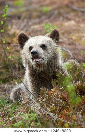 Beautiful and sweet puppy brown bear in a forest in northern Europe