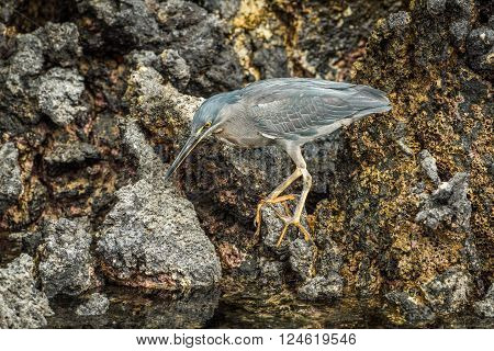 Striated heron looking for food among rocks