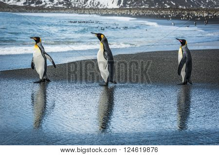 Three king penguins with reflections on beach