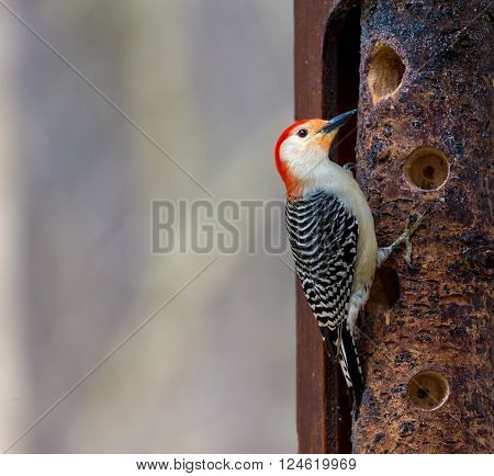 Red Breasted woodpecker feeding in a forest in Quebec.The red-bellied woodpecker is a medium-sized woodpecker. It breeds in southern Canada, northeastern Mexico, and the northeastern United States.