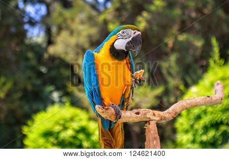 Blue and yellow macaw parrot holding a cracker while perched on a wooden branch with trees in background.