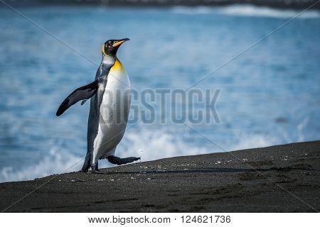 Wet king penguin runs up sandy beach