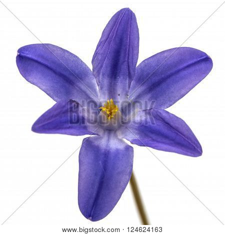Violet flowers of Chionodoxa luciliae, Glory of the snow, isolated on white background