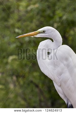 A white great egret stands at rest with its curving long neck.