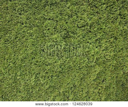 Green hedge, wall background