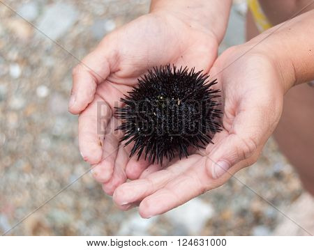 Sea urchin on the open palm on a summer day.