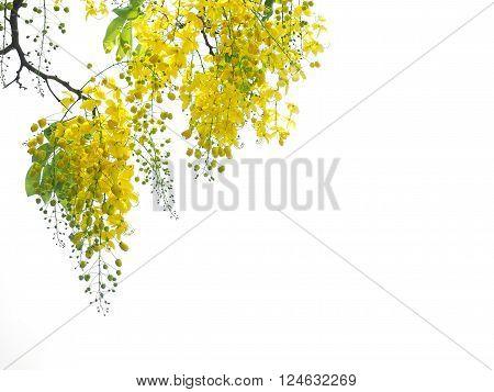 Golden shower flowers (Cassia fistula) over white background