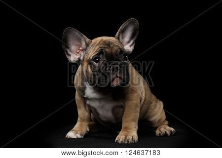 French Bulldog Puppy Sitting and Pity Looking Front view Isolated on black background