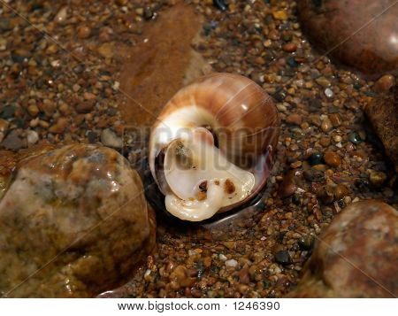 Caracol marino en la costa del océano arena piedras