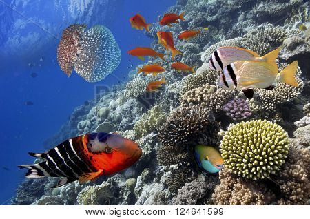 Tropical Fish on Coral Reef in the Red Sea Egypt