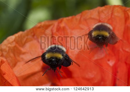 a pair of bumble bees flying over a red poppy