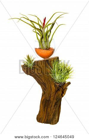 Decorative tillandsia houseplant growing on a log