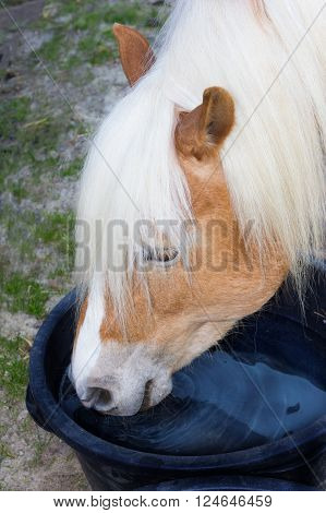 Haflinger Horse Is Drinking Water