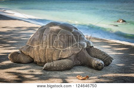 Highly detailed image of Seychelles giant turtle