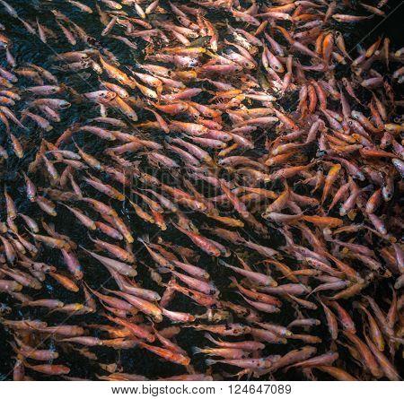 School of goldfishes Madu Ganga Sri Lanka