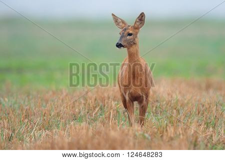 Roe-deer in a clearing in the wild