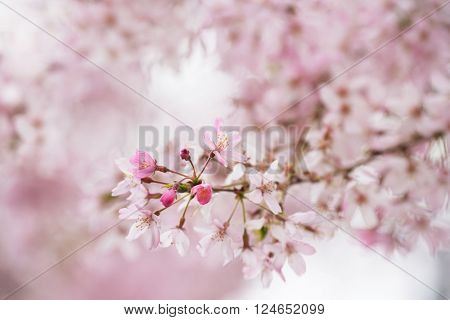 Beautifully pink young spring cherry blossom with flowers and  buds. Soft pastel pink background. Extremely shallow depth of field for dreamy feel.
