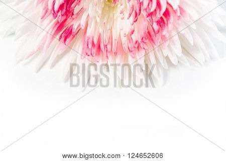 Festive background with chrysanthemum