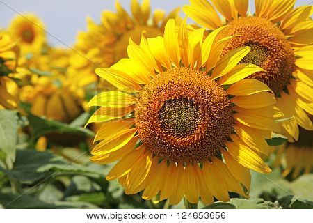 Group of vibrant, Yellow Sunflowers close up