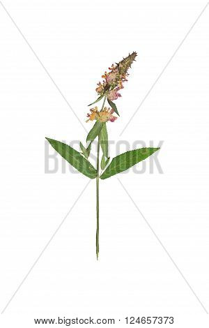 Pressed and dried flower stachys officinalis (betonica officinalis betony). Isolated on white background.