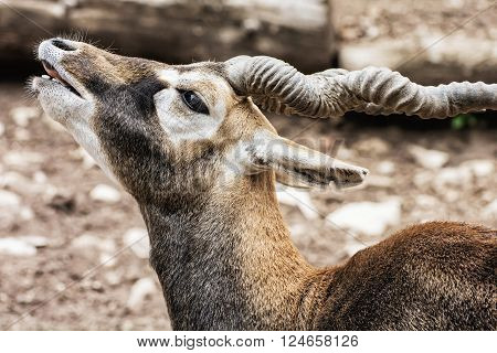 Blackbuck (Antilope cervicapra) is an ungulate species of antelope native to the Indian subcontinent that has been listed as Near Threatened on the IUCN Red List since 2003. Beauty in nature.